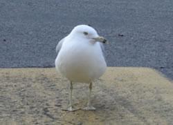 Scuttle Bird Meanie